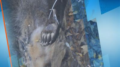 Разследват смъртта на мечка, извършила нападения над домашни животни в Родопите