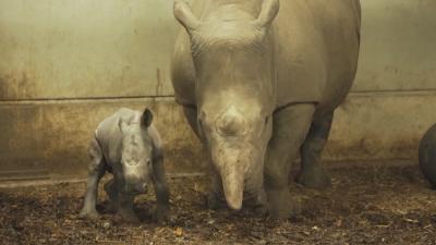 Бебе носорог е най-новият обитател на нидерландски зоопарк