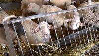 БАБХ с правила при клането на агнета във ферми