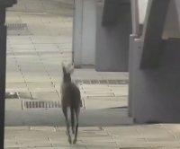 Необезпокоявано кенгуру се разходи по улиците на Аделаида
