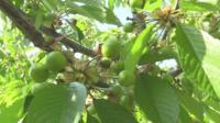 В Кюстендил очакват добра реколта от череши