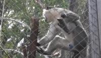 Извънредното положение направи маймуните в Айтос по-агресивни