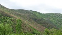 Съхнат иглолистни гори в Благоевградско