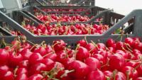 Слаба реколта на череши в Пловдивско