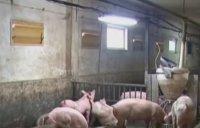 Свинекомплексите в Русенско, пострадали от чумата, надигат глава