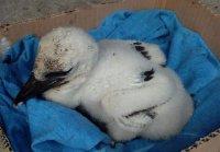 Бебе-щъркелче беше спасено в Пловдив