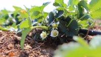И това го има – ягоди в горско стопанство до Рилския манастир