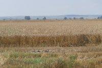 Сушата изгорила 28 хил. декара с есенници, но: Хляб ще има!