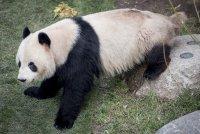Панда беглец се измъкна от клетката си и обиколи датски зоопарк