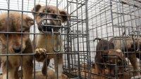 Кучета от русенския приют намират новия си дом в Германия