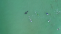 Опасна близост: Огромна бяла акула дебне сърфисти в Плетенбърг Бей