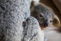 Ще изчезнат ли коалите от Нов Южен Уелс?