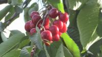 Производители на череши от Кюстендил се оплакват от трудна реализация на реколтата