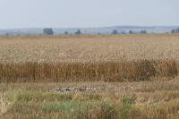 С 40% са намалели добивите на пшеница в Русенско