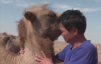 Камила измина 100 км през пустиня, за да се върне при любимия си стопанин
