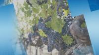 Добра реколта от грозде очакват в село Брестовица
