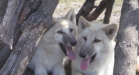 Бели вълчета се родиха в зоопарка в Бургас