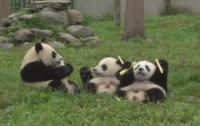 Сладки панди отпразнуваха първия си рожден ден в Китай