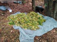 Откриха нива с марихуана в село Влахи, двама са задържани