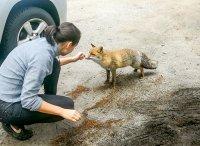 снимка 2 Туристи хранят лисици на Витоша