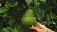 Какви екзотични растения се отглеждат в оранжерията на Аграрния университет в Пловдив?