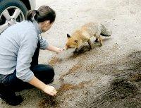 снимка 1 Туристи хранят лисици на Витоша