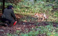 снимка 3 Туристи хранят лисици на Витоша