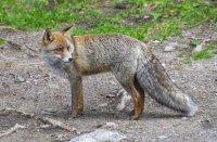 снимка 6 Туристи хранят лисици на Витоша