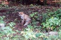 снимка 5 Туристи хранят лисици на Витоша