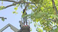 Недоволство във Варна заради санитарна сеч на дървета