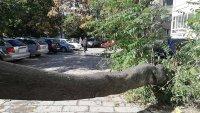 снимка 3 Дърво падна зад жилищен блок в Пловдив, нанесени са щети по автомобили