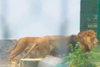 Как живеят два от най-възрастните лъва у нас