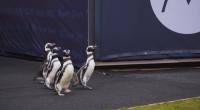 Пингвини се разходиха на стадион в Чикаго