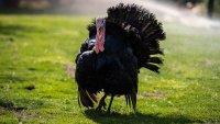 Унищожават над 10 000 пуйки заради птичи грип във Великобритания
