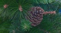 Има ли риск да останем без елха за Коледа?
