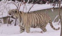 Бенгалският тигър от зоопарка в София се радва на снега (ВИДЕО)