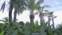 Къде зимуват палмите на Русе?