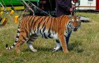 Гладен тигър нападна дресьора си по време на представление (ВИДЕО)
