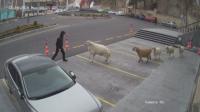 Стадо овце и кози щурмува турска община