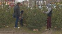 Коледните елхи тази година се продават за 30, но и за 800 лева
