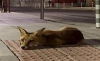 Лисици бродят нощем в Русе. Какво да правим, ако ги срещнем?