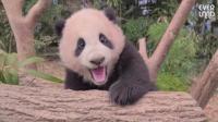 Видео с панда в Южна Корея събра над 4 млн. гледания в Ютюб