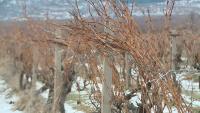 В Русенско заплаха за реколтата от пшеница