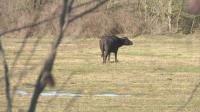Стопани се оплакват: Биволи унищожават посевите им