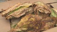"""Държавен фонд """"Земеделие"""" преведе над 71 млн. лева на тютюнопроизводителите за Кампания 2020"""