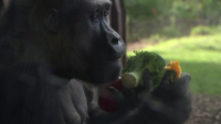 Горили си направиха пикник в зоопарк в Лондон