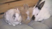 Бум на изхвърлените живи зайчета след Коледа и Свети Валентин