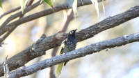 Пойна птичка в Австралия забравя песента си