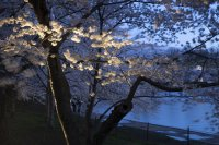 снимка 12 Японските вишни във Вашингтон цъфнаха (Снимки)