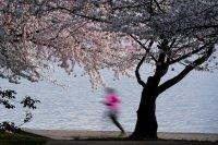 снимка 8 Японските вишни във Вашингтон цъфнаха (Снимки)
